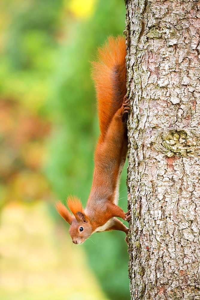 Eurasian red squirrel (Sciurus vulgaris) hangs upside down on tree trunk of a Pine (Pinus), Berlin, Germany, Europe