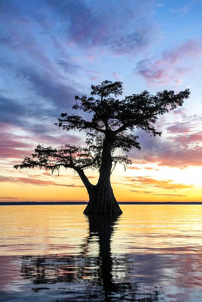 Single Bald cypress (Taxodium distichum) in water at sunset, Atchafalaya Basin, Louisiana, USA, North America