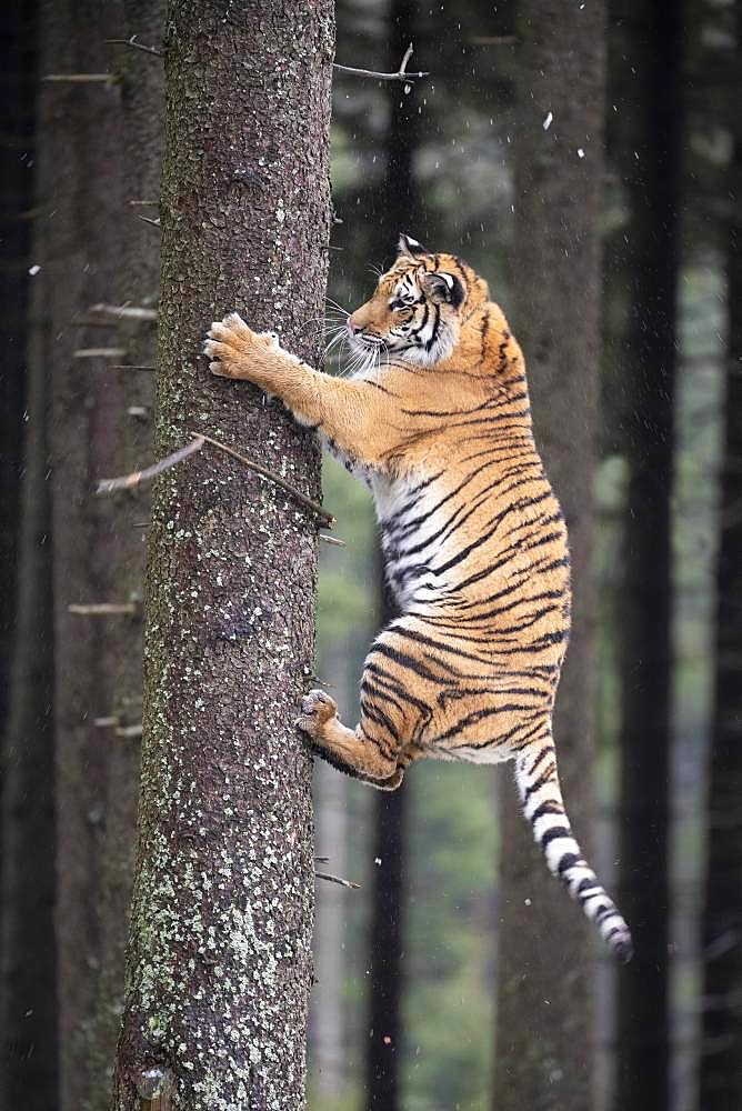 Siberian tiger (Panthera tigris altaica) climbing tree trunk, captive, Czech Republic, Europe