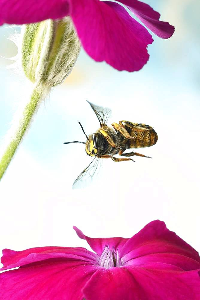 European wool carder bee (Anthidium manicatum), in flight on a rose campion (Silene coronaria), Germany, Europe