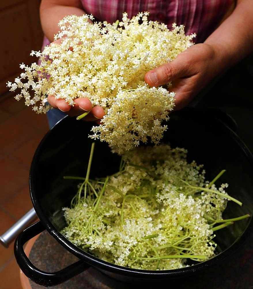 Cut off elderflowers in pot, Bavaria, Germany, Europe
