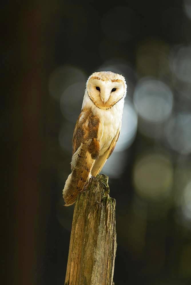 Common barn owl (Tyto alba), standing on dead tree stump, captive, Bohemian Forest, Czech Republic, Europe