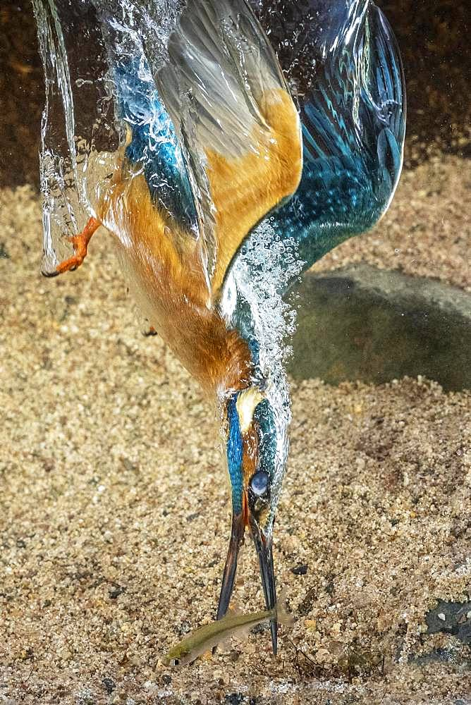 Common kingfisher (Alcedo atthis), dives for fish, Hesse, Germany, Europe