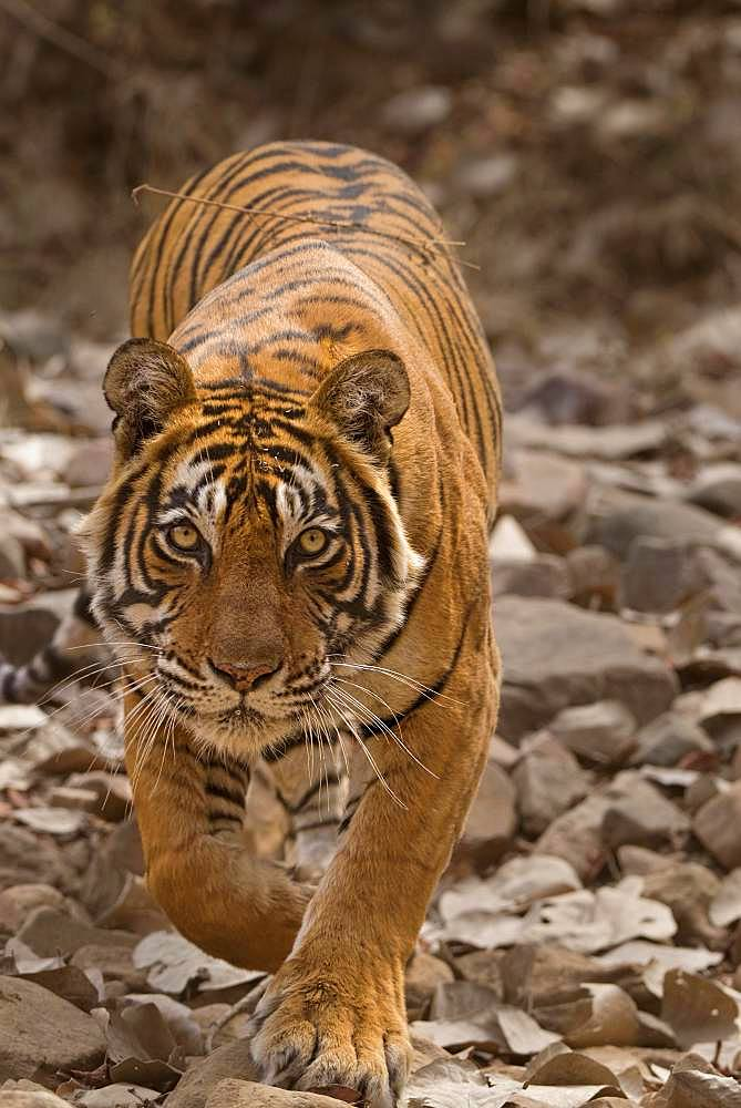 Tiger (Panthera tigris tigris) stalking prey while hunting, Ranthambore National Park, Rajasthan, India, Asia