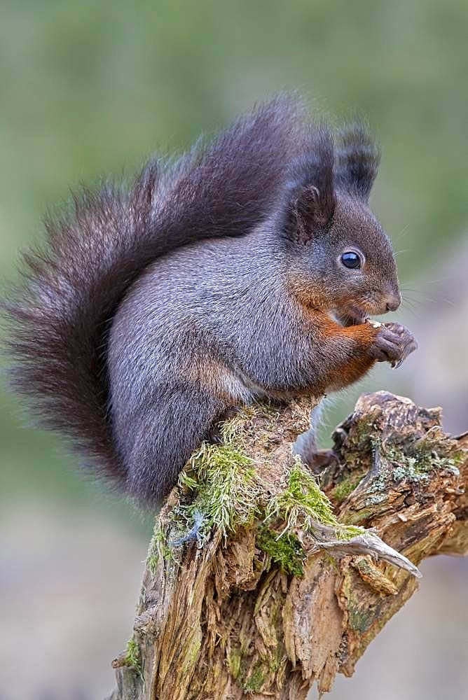 Eurasian red squirrel (Sciurus vulgaris), dark phase, sitting on a tree root and eating, Tyrol, Austria, Europe