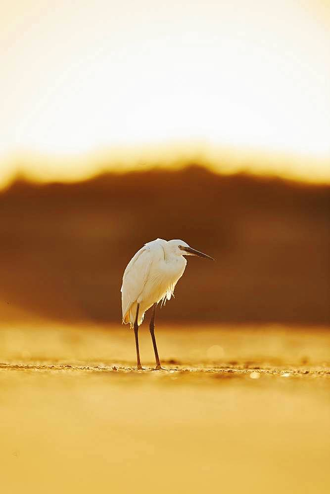 Little egret (Egretta garzetta) at sunset, Parc Naturel Regional de Camargue, France, Europe