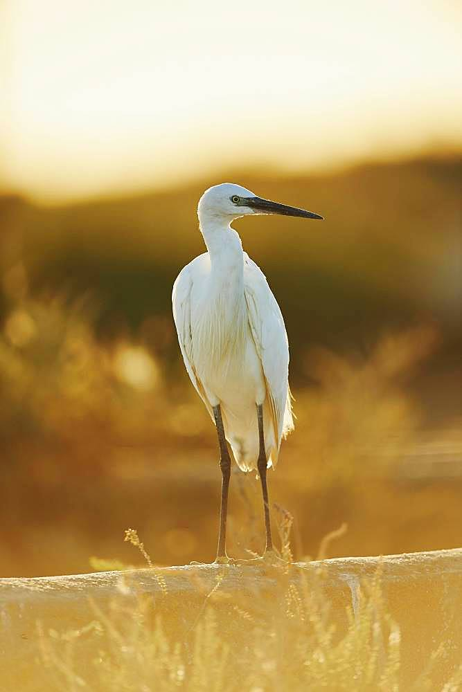 Little egret (Egretta garzetta) at sunset, Saintes-Maries-de-la-Mer, Parc Naturel Regional de Camargue, Camargue, France, Europe