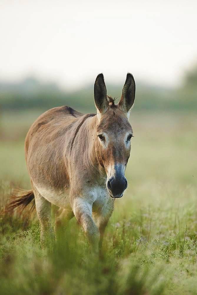 African wild ass (Equus africanus asinus), Camargue, France, Europe