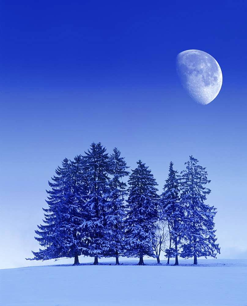 Digital Composing, winter landscape, fir trees with moon, near Fuessen, Allgaeu, Bavaria, Germany, Europe