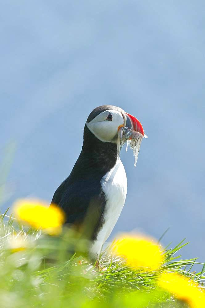 Puffin (Fratercula arctica), standing in the grass with prey fish in the beak, Iceland, Europe