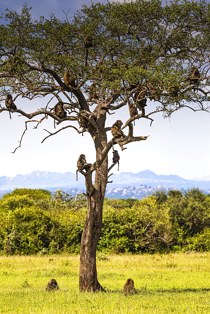 Herd Yellow baboons (Papio cynocephalus) sitting in a tree, Serengeti National Park, Tanzania, Africa