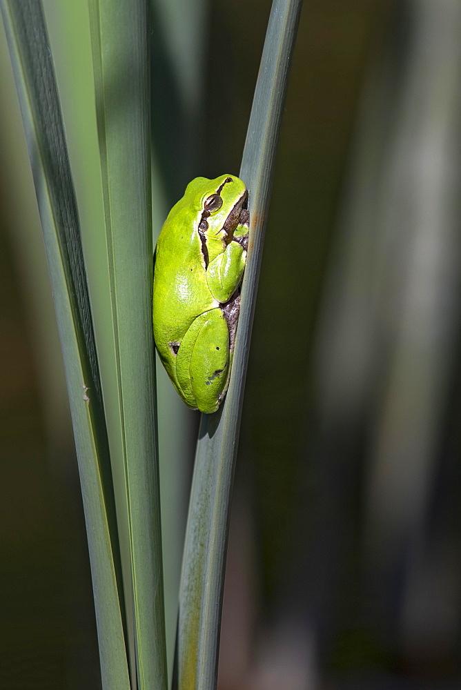 European tree frog (Hyla arborea) sits on bulrush, Burgenland, Austria, Europe