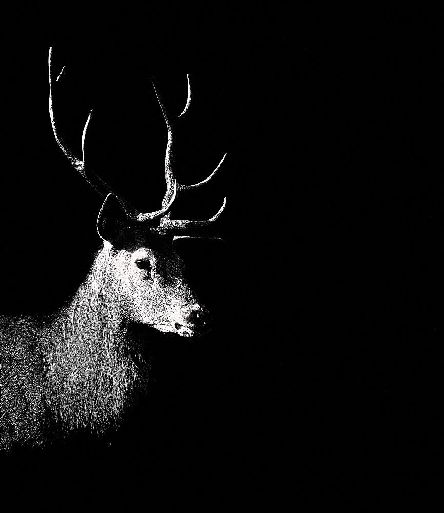 Deer with antlers, animal portrait, Germany, Europe
