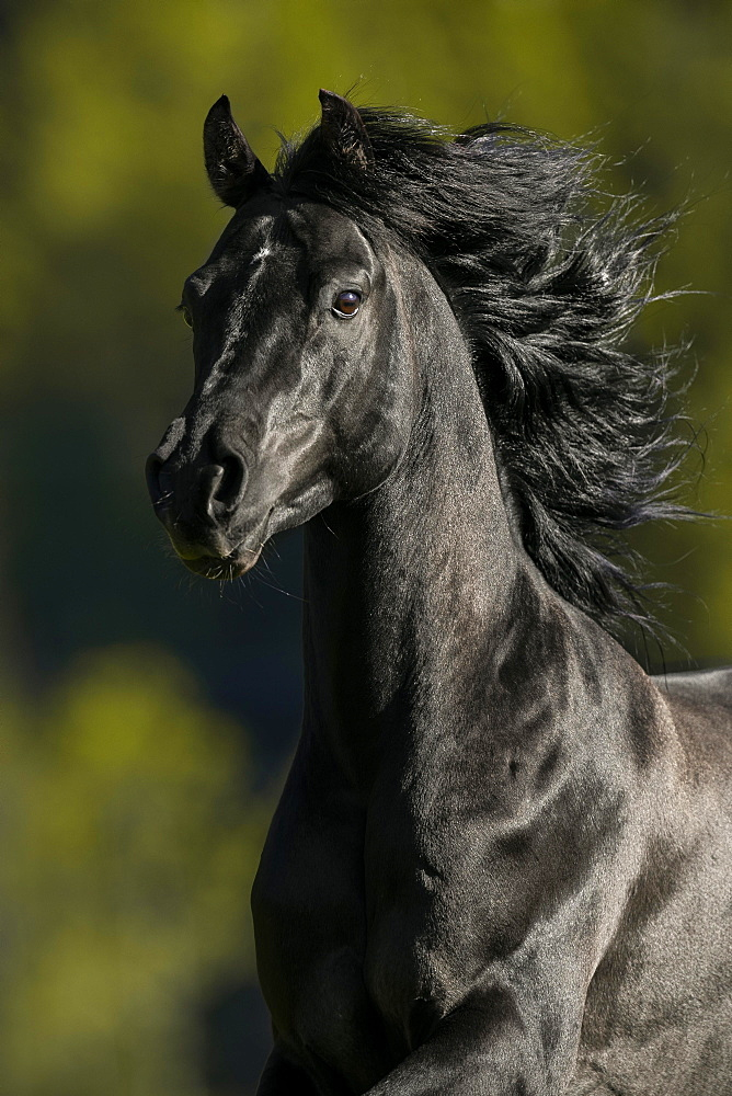 Portrait of a thoroughbred Arabian black stallion, Tyrol, Austria, Europe