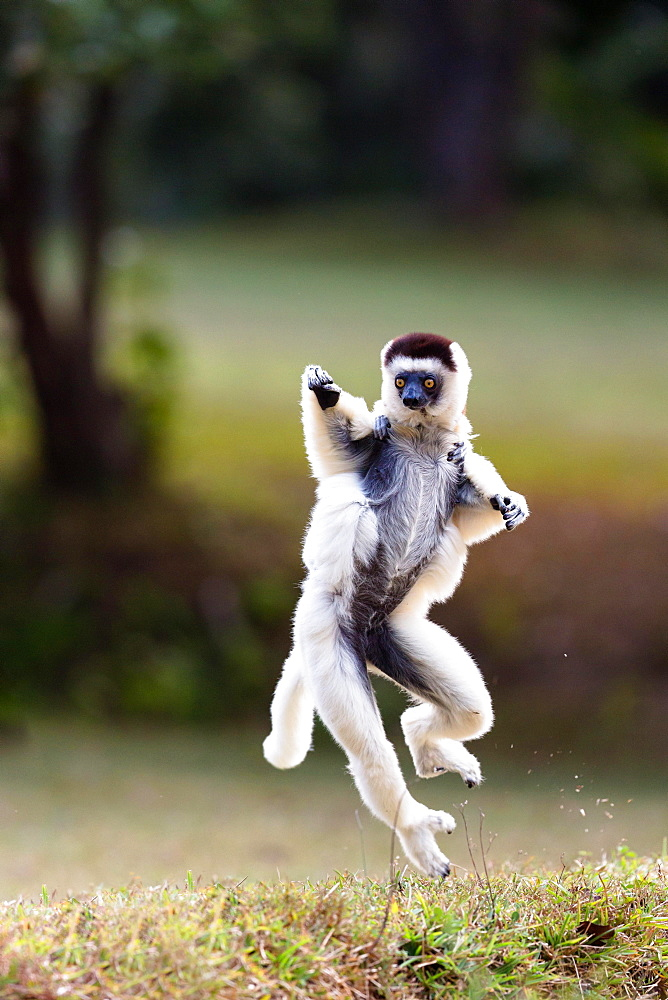 Verreaux's sifaka (Propithecus verreauxi), mother with animal baby on her back, dancing, Nahampoana Reserve, South Madagascar, Madagascar, Africa