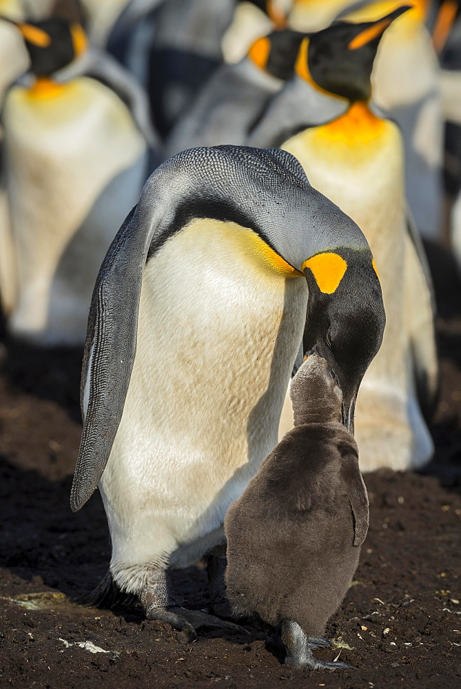 King penguin (Aptenodytes patagonicus) feeds chicks, breeding colony, Volunteer Point, Falkland Islands, South America