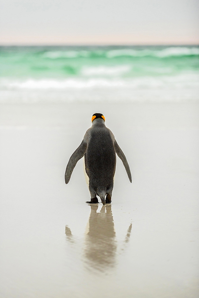 King penguin (Aptenodytes patagonicus) at the beach, rear view, view to the sea, Volunteer Point, Falkland Islands, South America