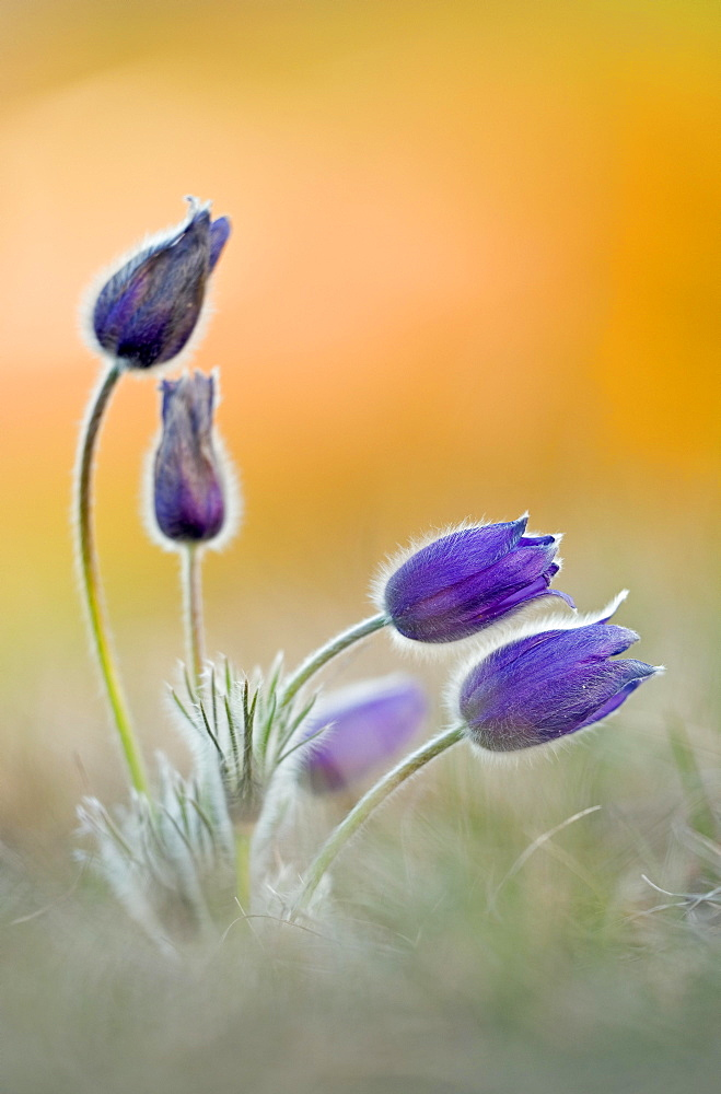 Pasque flowers (Pulsatilla vulgaris) Bavaria, Germany, Europe