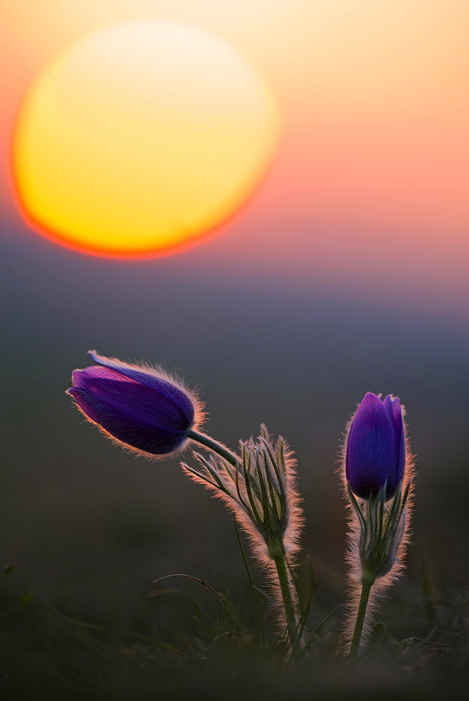 Kitchen clamps (pulsatilla vulgaris) at sunset, Bavaria, Germany, Europe - 832-388247