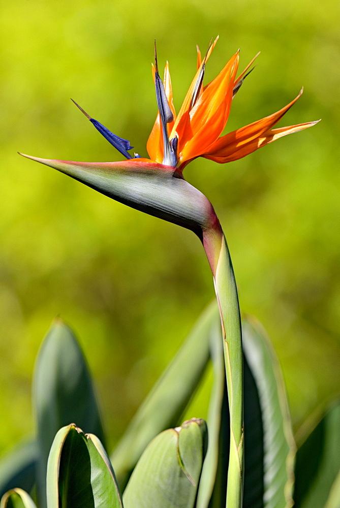 Strelitzia (Strelitzia reginae), flower, North Rhine-Westphalia, Germany, Europe