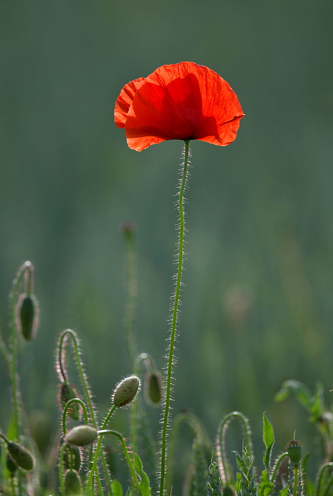 Corn poppy (Papaver rhoeas), Germany, Europe