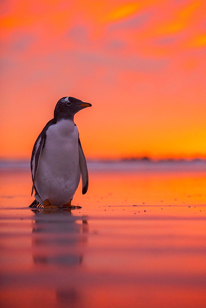 Gentoo penguin (Pygoscelis papua) on the beach at dawn, Volunteer Point, Falkland Islands, South America