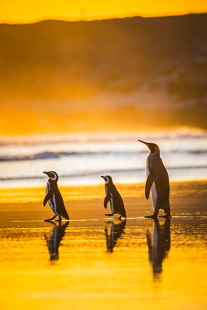 Magellanic penguins (Spheniscus magellanicus) and King penguin (Aptenodytes patagonicus) together on the way to the sea at sunrise, Volunteer Point, Falkland Islands, Great Britain, South America
