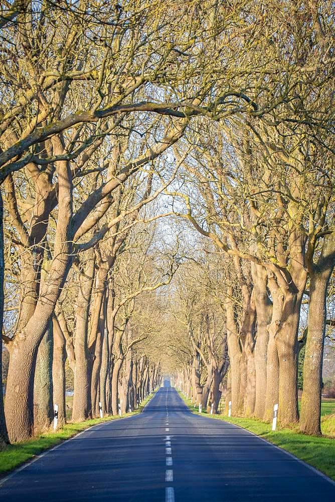 Avenue, street with trees, Ruegen, Mecklenburg-Western Pomerania, Germany, Europe