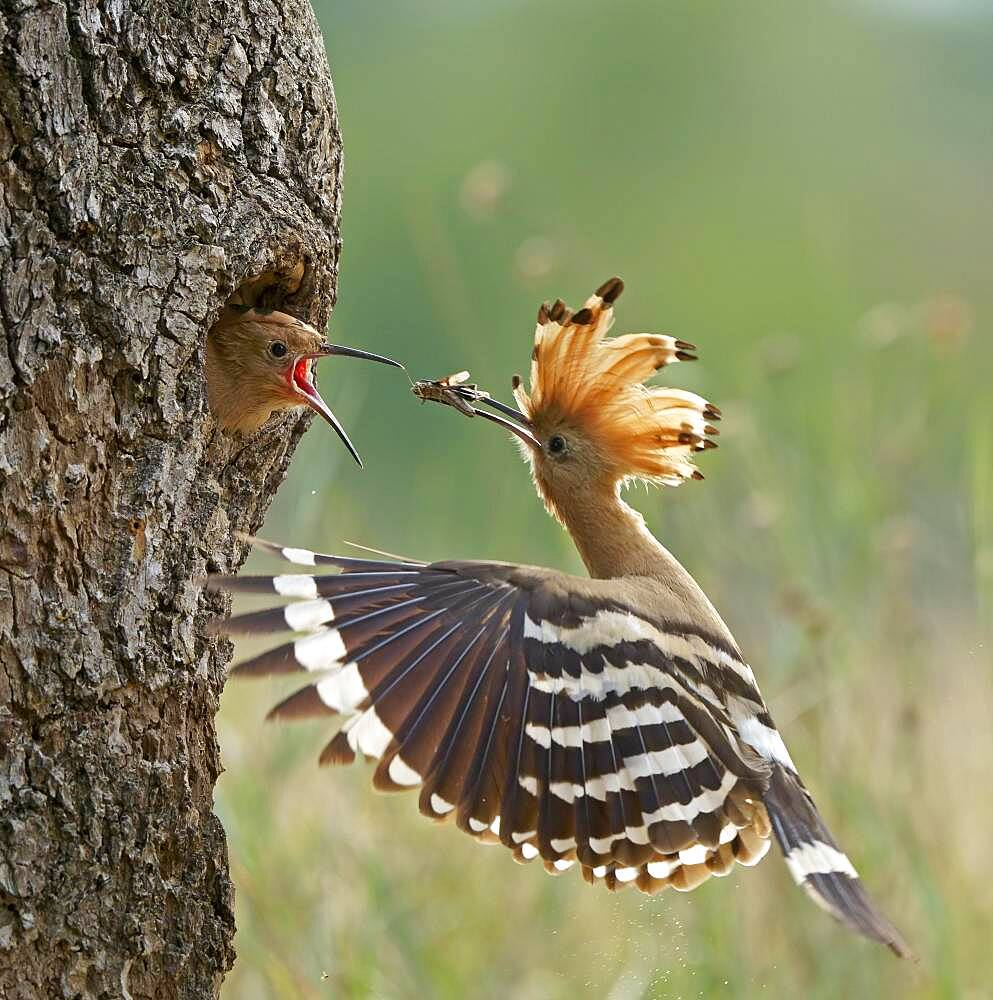 Hoopoe (Upupa epops) feeding young bird, Middle Elbe Biosphere Reserve, Saxony-Anhalt, Germany, Europe