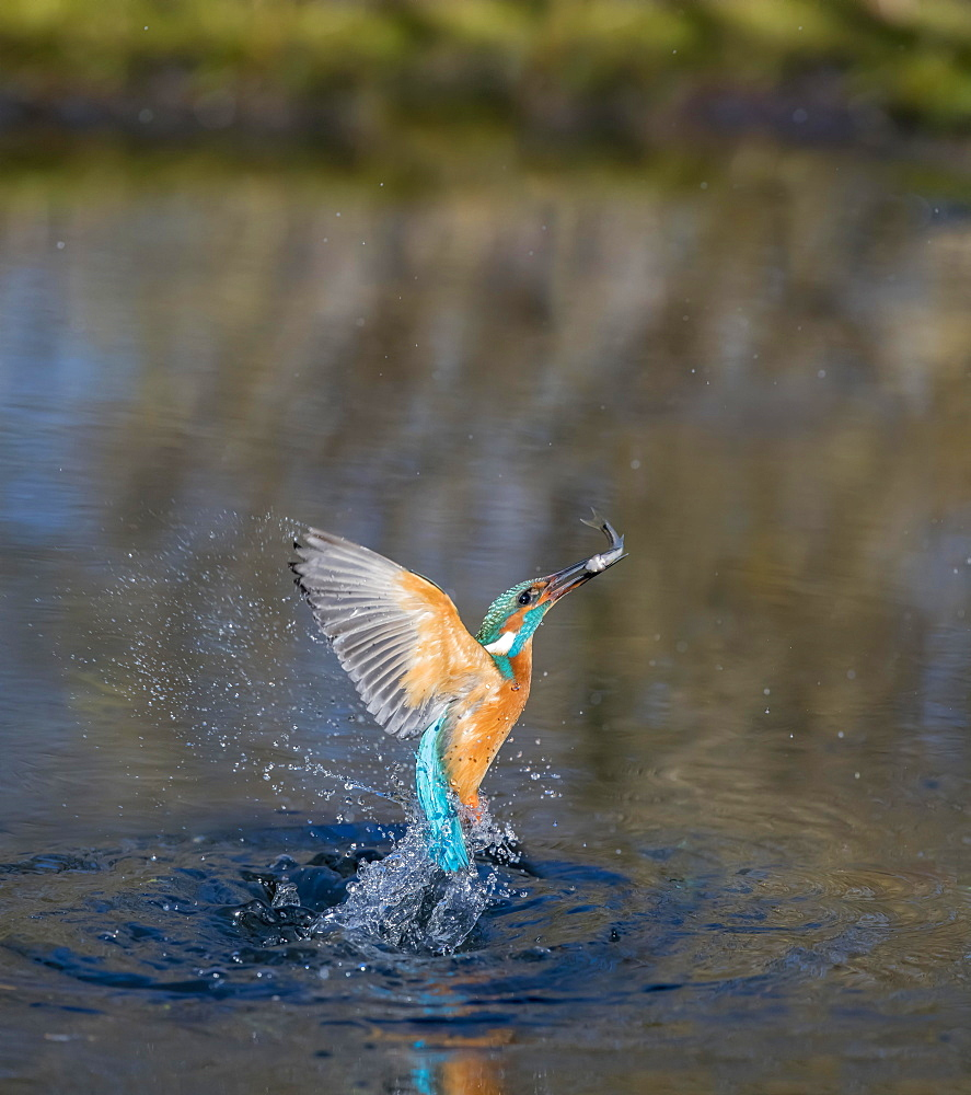 Common kingfisher (Alcedo atthis), emerges from water after hunting, Lower Saxony, Germany, Europe - 832-390492