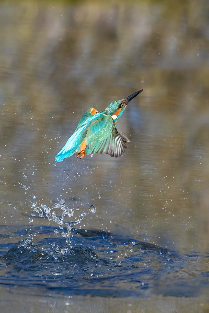 Common kingfisher (Alcedo atthis), emerges from water after hunting, Lower Saxony, Germany, Europe - 832-390502