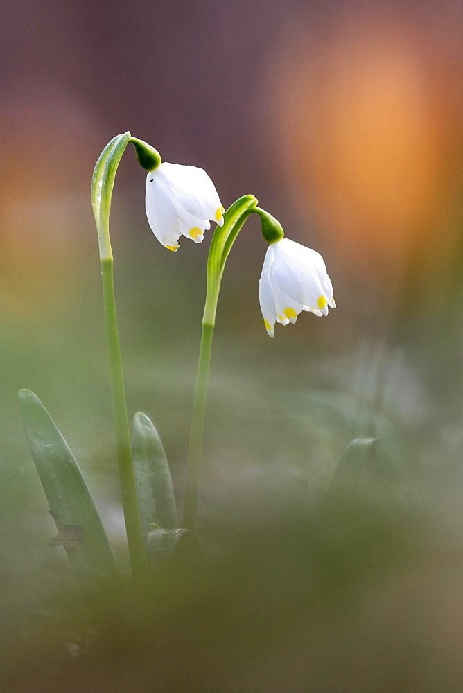 Spring snowflake (Leucojum vernum), Lower Saxony, Germany, Europe - 832-390536