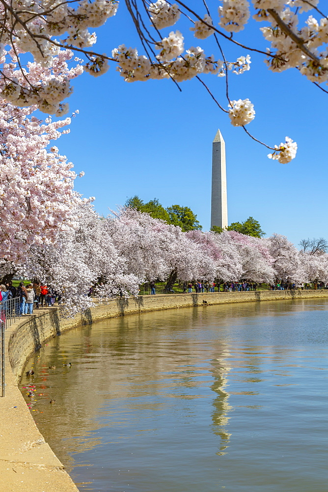 View of the Washington Monument and cherry blossom trees in spring, Washington D.C., United States of America, North America