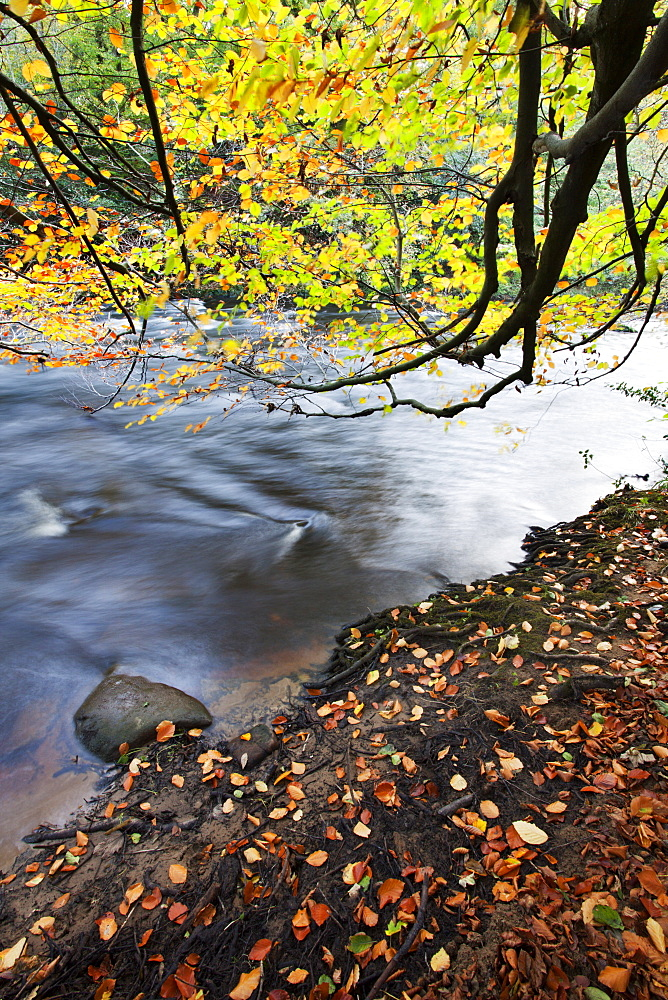 Fallen leaves and tree overhanging the River Nidd in Nidd Gorge in autumn, near Knaresborough, North Yorkshire, Yorkshire, England, United Kingdom, Europe
