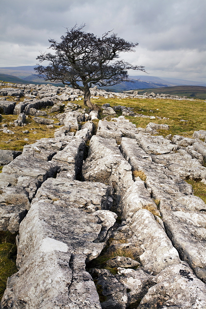 Lone tree at Winskill Stones near Settle, Yorkshire Dales, Yorkshire, England, United Kingdom, Europe - 845-947