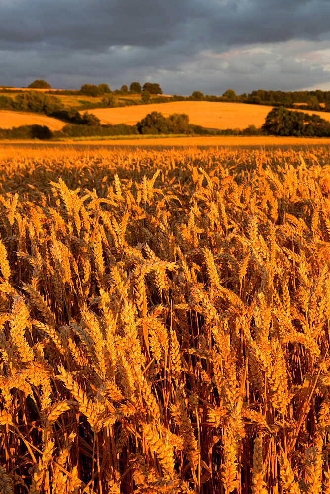Wheat in evening sunlight, near Chipping Campden, Cotswolds, Gloucestershire, England, United Kingdom, Europe