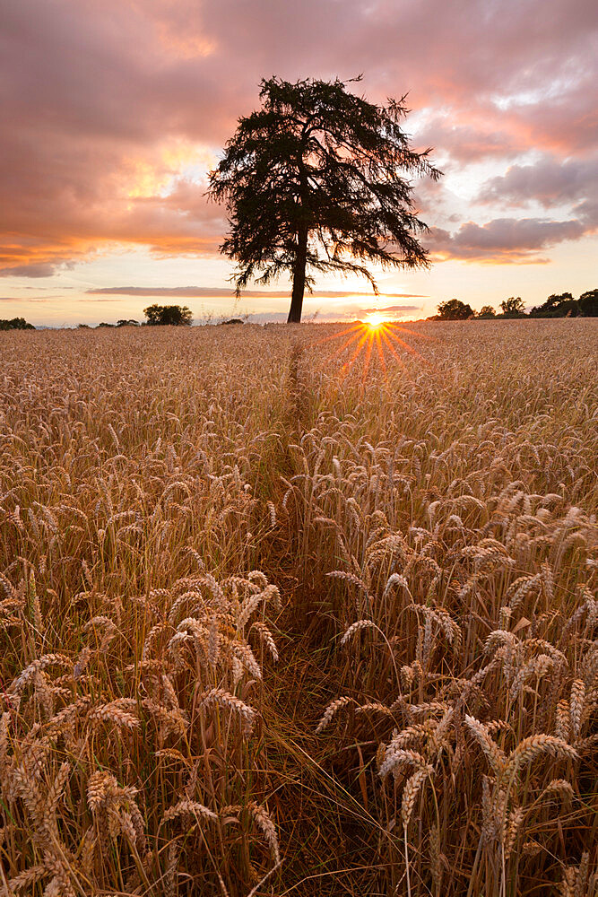 Wheat field with path and tree at sunset, near Chipping Campden, Cotswolds, Gloucestershire, England, United Kingdom, Europe