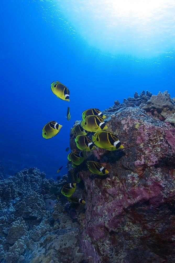 Racoon butterflyfish (Chaetodon lunula), and sunburst, Kailua-Kona, Hawaii, United States of America, Pacific