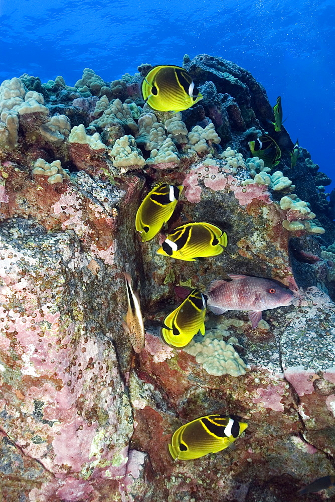Racoon butterflyfish, Chaetodon lunula, Kailua-Kona, Hawaii