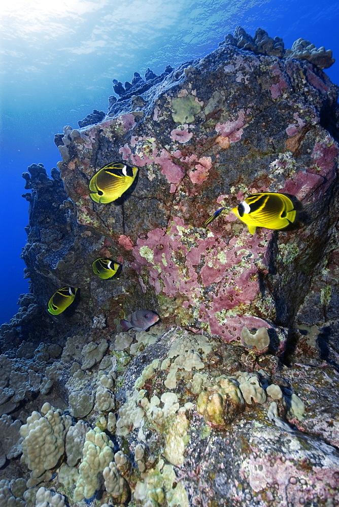 Racoon butterflyfish (Chaetodon lunula), Kailua-Kona, Hawaii, United States of America, Pacific