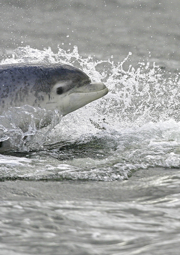 Bottlenose dolphin (Tursiops truncatus truncatus) surfacing at speed looking towards camera. Moray Firth, Scotland (A4 only). - 930-13