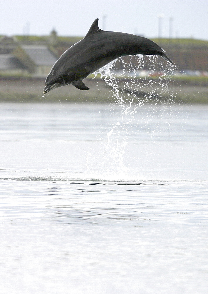 Bottlenose dolphin (Tursiops truncatus truncatus) leaping 2 metres above the surface. (1 or 2 images) Moray Firth, Scotland Resolution Restriction: 3/4 page (A4 only). - 930-16