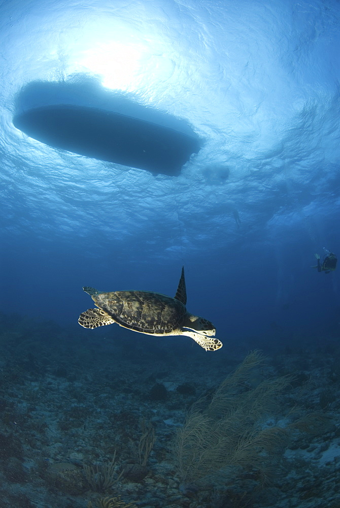 Hawksbill Turtle (Eretmochelys imbriocota), swimming over coral reef with boat silouhette above, Little Cayman Island, Cayman Islands, Caribbean - 970-665