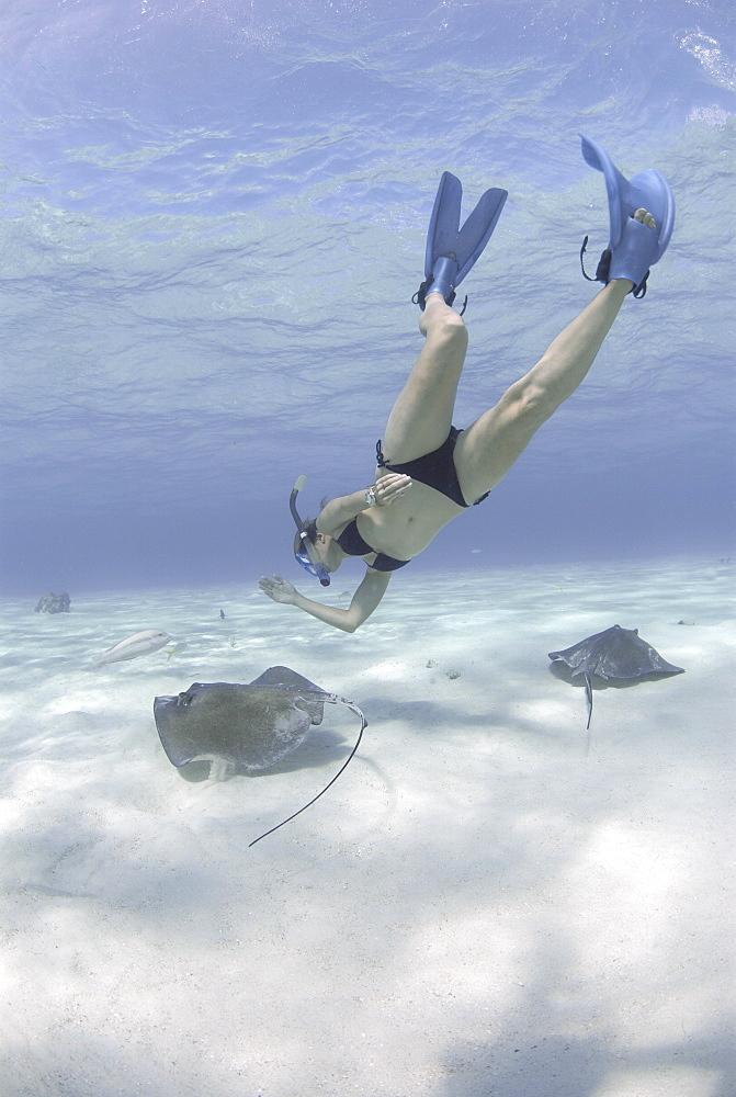 Snorkeller swimming down to Southern Stingrays (Dasyatis americana) Stingray City Sandbar, Grand Cayman Island, Cayman Islands, Caribbean