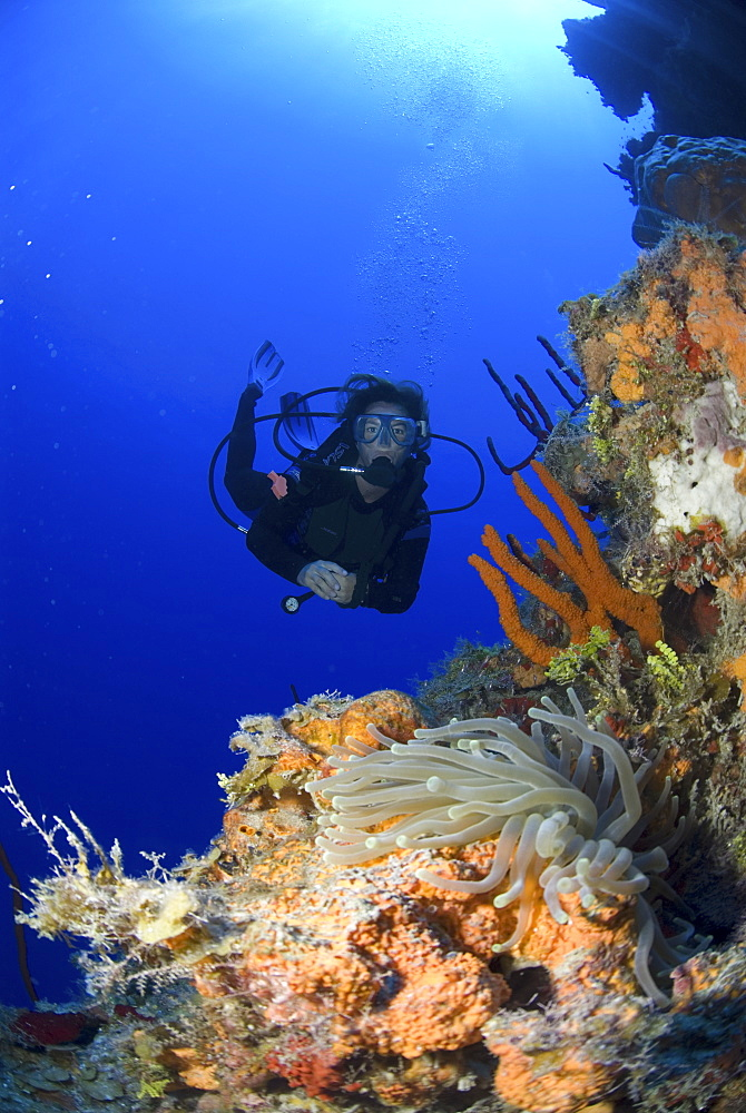 Diver approachiong anemone on colourful coral and sponge wall, Little Cayman Island, Cayman Islands, Caribbean - 970-767