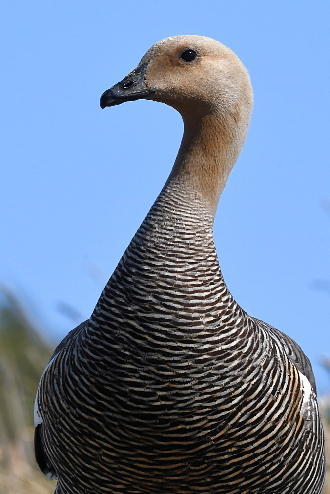 Portrait of a female upland goose (Chloephaga picta) against blue sky, Falkland Islands - 971-149