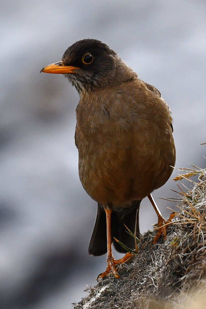 Portrait of an adult Austral thrush (Turdus falcklandii) of the subspecies Falkland thrush (T. f. falcklandii), Falkand Islands - 971-152