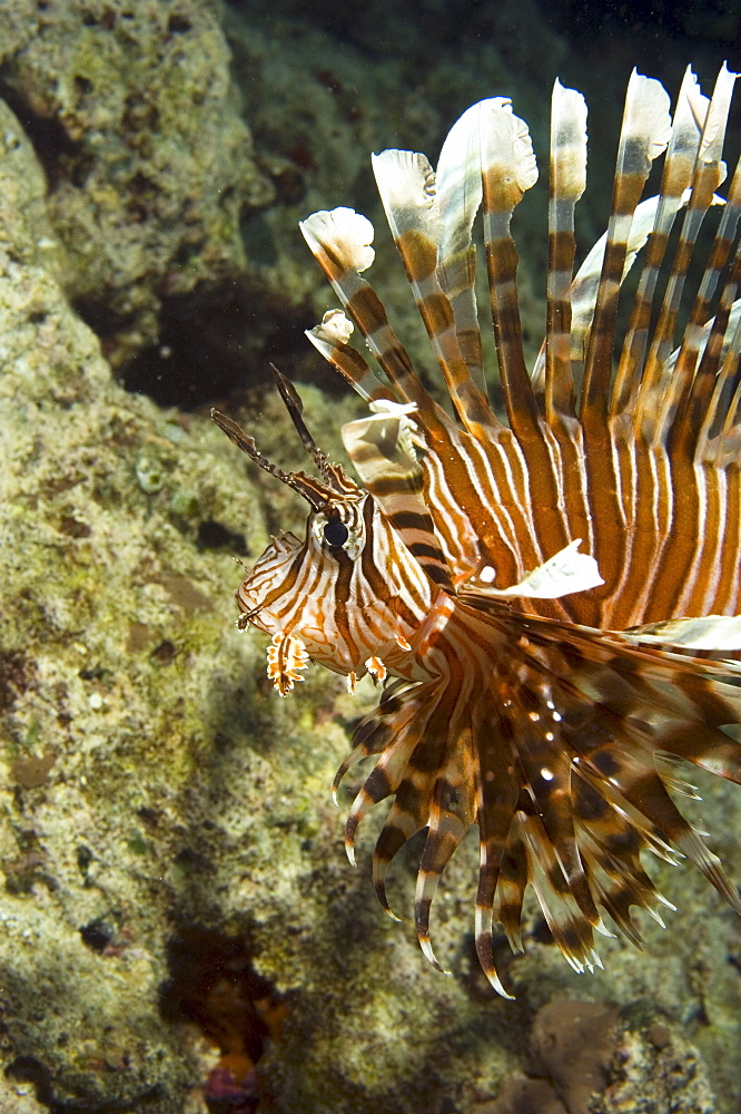 Lionfish (Pterois volitans?).  Borneo, Malaysia (A4 only).