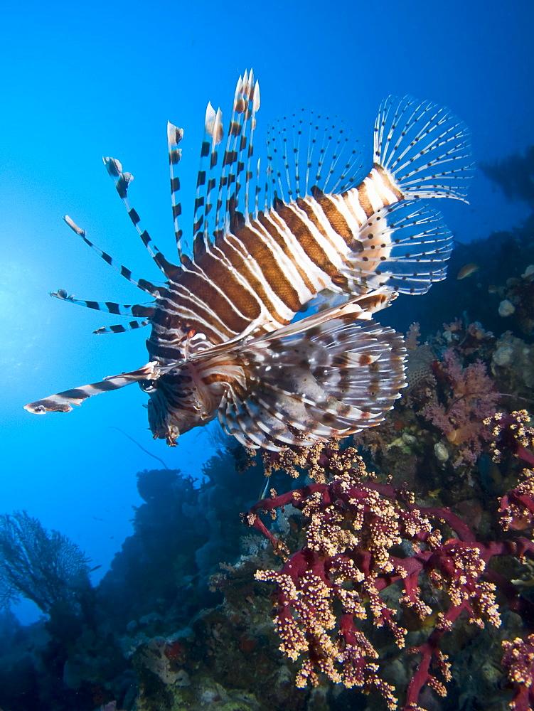 Common lionfish (Pterois miles). Shark and Yolanda,Ras Mohamed National Park,Red Sea; Egypt.
