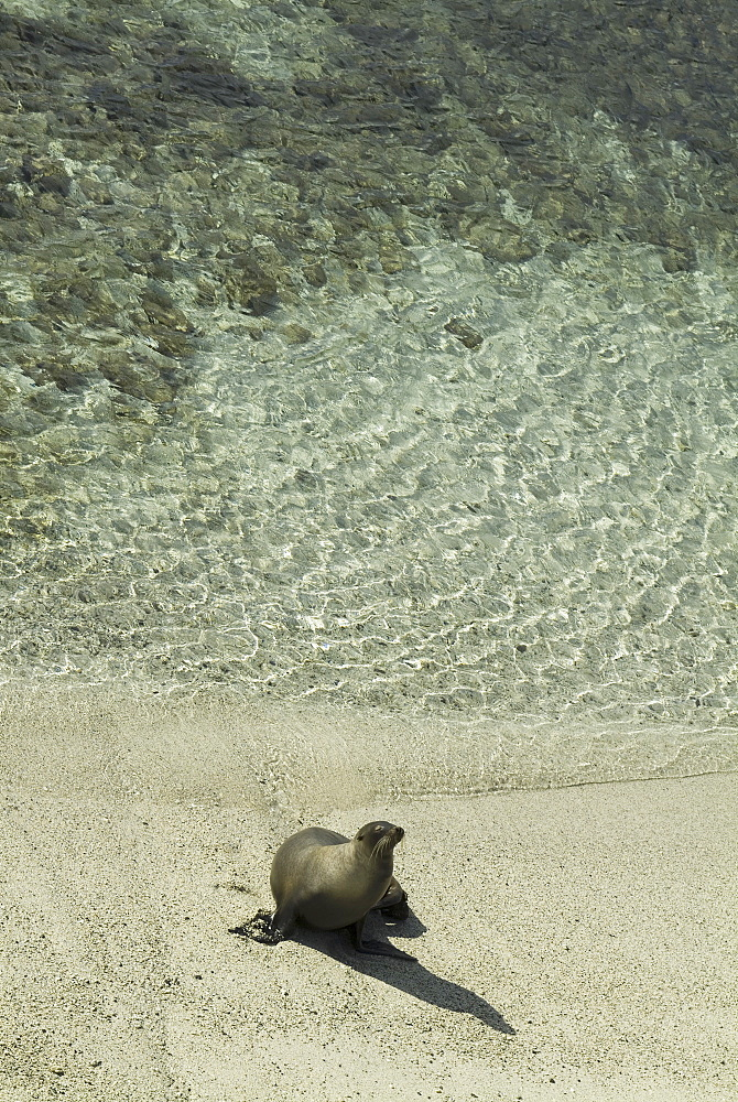 Galapagos Sea Lion (Zalophus californianus wollebacki). Galapagos.